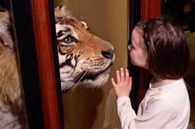 Young girl looking at a stuffed tiger in Tring Zoological Museum